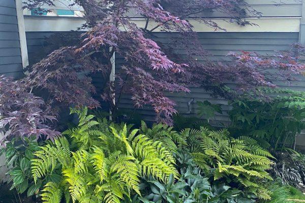Ferns Japanese maple drystack wall ornamental grass stone stairs small patio design Stephen Stewart